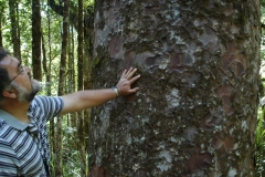 Neuseeland - Kauribaum