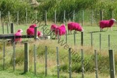 Neuseeland - Schafe in rosa