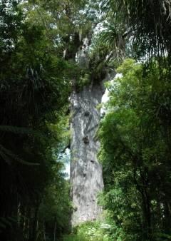 Neuseeland - Tane Mahuta, Kauribaum