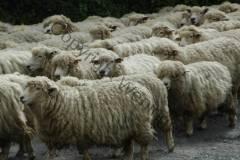 Neuseeland - neugierige Schafe